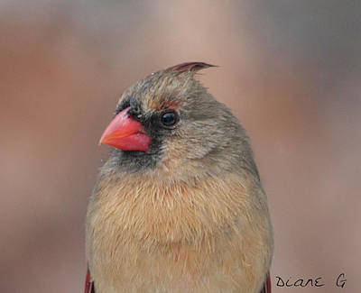 Photograph - Female Cardinal by Diane Giurco