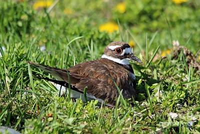 Photograph - Female Killdeer On The Nest by J McCombie