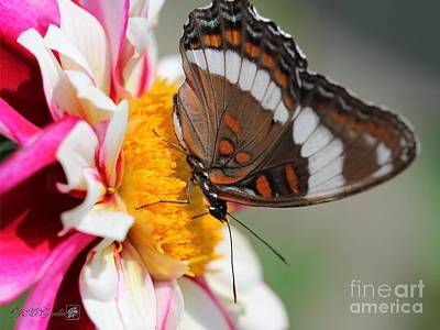 Photograph - Female White Admiral Butterfly by J McCombie