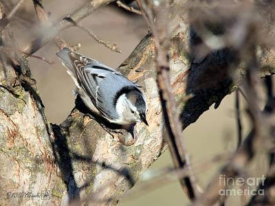 Photograph - Female White-breasted Nuthatch by J McCombie