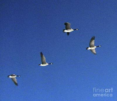 Photograph - 4 Geese In Flight by Cindy Schneider