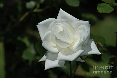 Photograph - George Mander's Canadian White Star Rose by Glenn Franco Simmons
