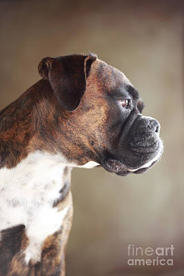 German Boxer Dog Art Print by Jana Behr