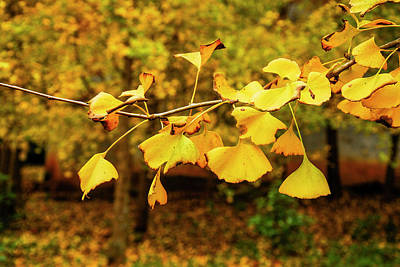 Photograph - Ginkgo Tree Leaves In Autumn by Carl Ning