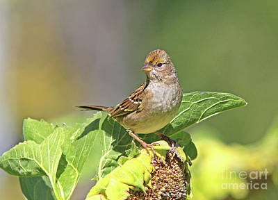 Golden-crowned Sparrow Photograph - Golden -crowned Sparrow by Gary Wing