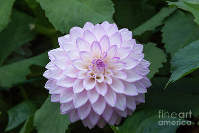 Photograph - Golden Gate Park Dahlia by Glenn Franco Simmons
