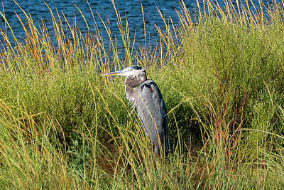 Photograph - Great Blue Heron by Bill Hosford