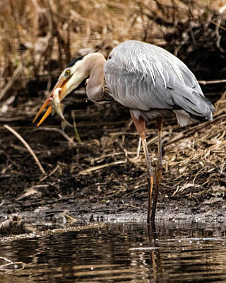 Ira Marcus Royalty-Free and Rights-Managed Images - Great Blue Heron by Ira Marcus