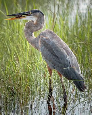 Photograph - Great Blue Heron Shark Valley Everglades Florida by Adam Rainoff