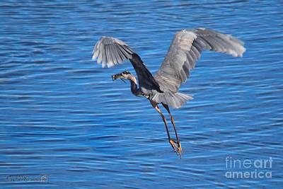 Photograph - Great Blue Heron With Frog In Flight by J McCombie