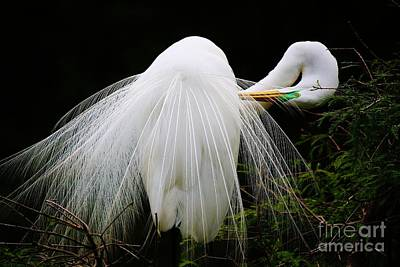 Photograph - Great White Egret Preening by Paulette Thomas