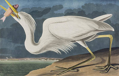 Herons Drawing - Great White Heron by John James Audubon