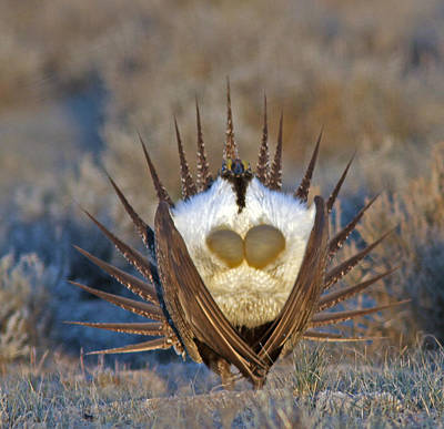 Brown Photograph - Greater Sage-grouse by Gary Wing