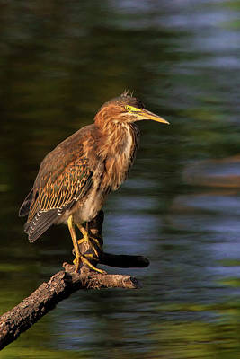 Photograph - Green Heron by Craig Strand