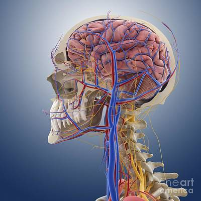 Head And Neck Anatomy, Artwork Print by Springer Medizin