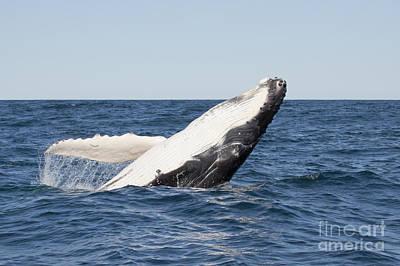 Photograph - Humpback Whale - Calf Breaching by Karen Van Der Zijden