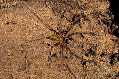 Huntsman Spider Photograph - Huntsman Spider by Fletcher & Baylis