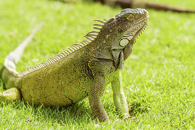 Photograph - Iguanas At The Iguana Park In Downtown Of Guayaquil, Ecuador. by Marek Poplawski