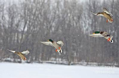 Mallard Photograph - 4 In A Row by Robert Pearson