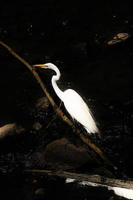 Photograph - Glowing Great Egret by Karen Silvestri