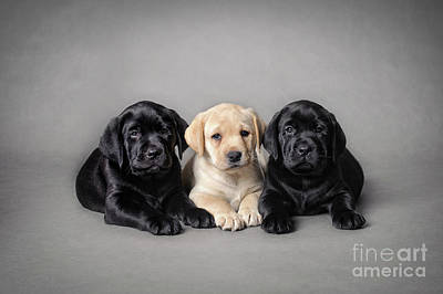 Photograph - Labrador Retriever Puppies by Waldek Dabrowski
