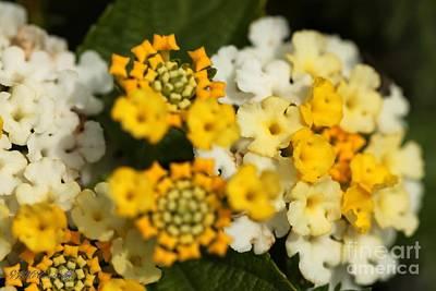 Photograph - Lantana Named Little Lucky Lemon Cream by J McCombie