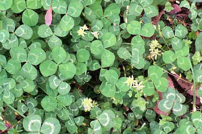 4 Leaf Clover Photograph - 4 Leaf Clover 5 by B L Hickman