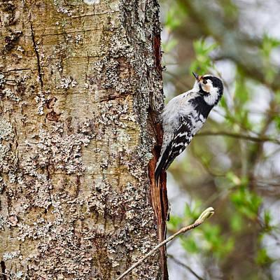 Jouko Lehto Royalty-Free and Rights-Managed Images - Lesser spotted woodpecker by Jouko Lehto