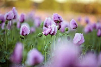 Sundown Photograph - Lilac Poppy Flowers by Nailia Schwarz