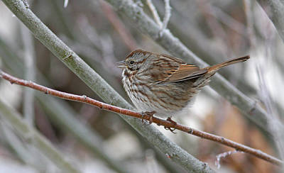Frost Photograph - Lincoln's Sparrow by Gary Wing