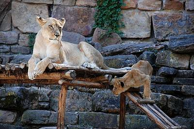 Photograph - Lioness And Cubs by Kenny Glover