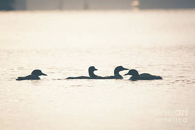 Photograph - 4 Loon Silhouettes by Cheryl Baxter
