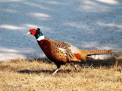Photograph - Male Ring-necked Pheasant by J McCombie
