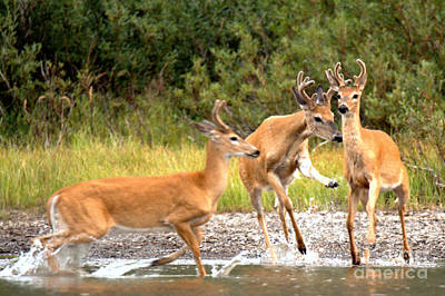 Photograph - 4 Many Glacier Deer by Adam Jewell