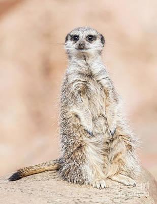 Photograph - Meerkat by Shaun Wilkinson