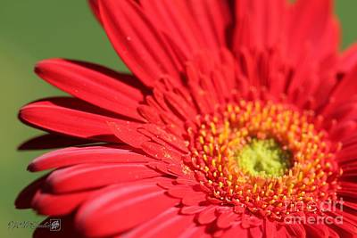 Photograph - Mega Revolution Scarlet Red With Light Eye Gerbera Daisy by J McCombie