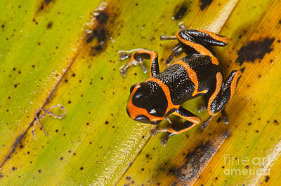 Photograph - Mimic Poison Arrow Frog by Francesco Tomasinelli