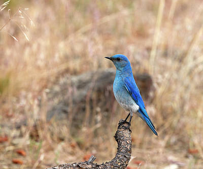 Photograph - Mountain Bluebird by Doug Lloyd