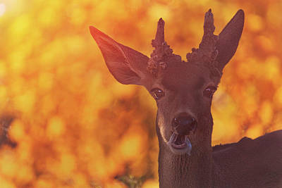 Photograph - Mule Deer  by Brian Cross
