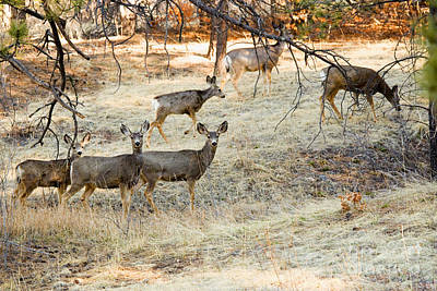 Steven Krull Royalty-Free and Rights-Managed Images - Mule Deer Does by Steven Krull