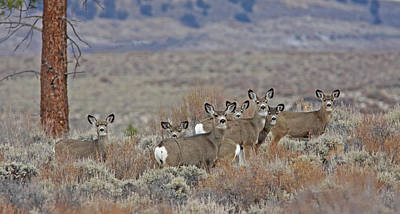 Photograph - Mule Deer by Gary Wing