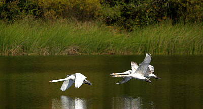 All You Need Is Love - Mute Swans In Flight Over The Lake by Roy Williams