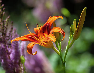 Photograph - Orange Lily by Robert Ullmann