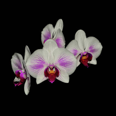 Photograph - 4 Orchids 018 by George Bostian