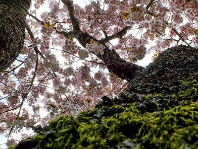 Photograph - Ornamental Cherry Tree Prunus Serrulata Shirofugen by Martin Stankewitz
