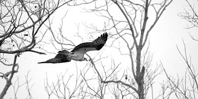Osprey In Flight Among Trees Art Print by Roy Williams