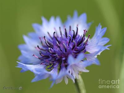 Photograph - Pale Blue Bachelor Button From The Double Ball Mix by J McCombie