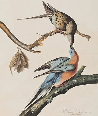 Pigeon Painting - Passenger Pigeon by John James Audubon