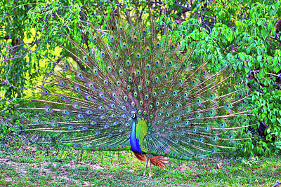 Photograph - Peacock With Gorgeous Spread Colored Feathers Shows His Tail by Regina Koch