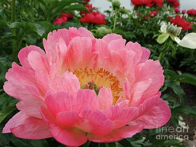 Photograph - Peony In Pink by Rebecca Overton